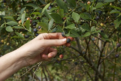 Blueberry Picker Stock Image