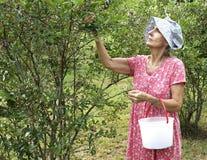 Blueberry Picking Stock Photos