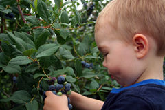 Blueberry Picking Royalty Free Stock Photos