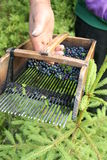 Blueberry picking comb Stock Photo