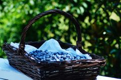 Blueberry Picking In the Summertime so Delicious and Nutritious! Stock Photo