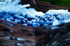 Blueberry Picking In the Summertime so Delicious and Nutritious! Royalty Free Stock Image