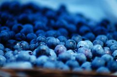 Blueberry Picking In the Summertime so Delicious and Nutritious! Stock Photography