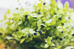 Blueberry Plant Royalty Free Stock Photography