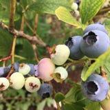 Blueberry, Plant, Berry, Fruit royalty free stock photos