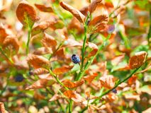 Damaged blueberry plant. Blueberry plant with brown, dying leaves and one shriveled, unharvested blueberry damaged from lack of rain Royalty Free Stock Image