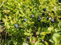 Blueberry plant. Growing in Jeseniky mountains, Czech republic Stock Photo