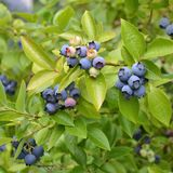 Blueberry plant Royalty Free Stock Image