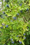Blueberry plant Stock Images