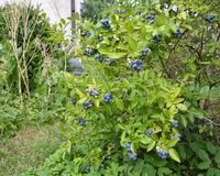 Blueberry plant Royalty Free Stock Photo