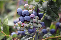 Blueberry plant with some ripe blueberries and some still green. There is some foliage also Royalty Free Stock Photography