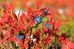 Blueberry plant Stock Photos