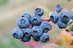 Blueberry plant. Vaccinium corymbossum Royalty Free Stock Photography