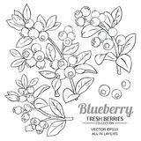 Blueberry plant vector. Set on white background stock illustration