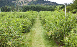 A blueberry plantation Stock Photo