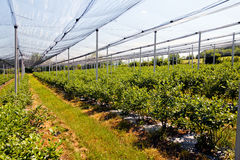 Blueberry plantations. With backstops, note shallow depth of field Royalty Free Stock Image