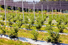 Blueberry plantations. With backstops, note shallow depth of field Stock Photo