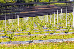 Blueberry plantations Royalty Free Stock Photo
