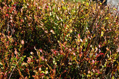 Blueberry plants. In the autumn Royalty Free Stock Images