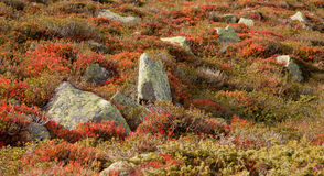 Blueberry plants in autumnal environment. Italian Alps Royalty Free Stock Photos