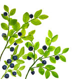 Blueberry plants with berries on white. Blueberry branches isolated on white background Royalty Free Stock Photos