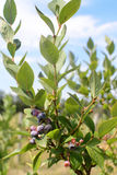 Blueberry plants. With some fruits Stock Photo