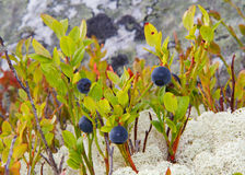 Blueberry and Reindeer moss Stock Images