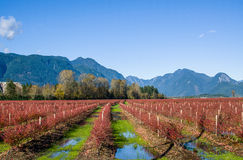 Blueberry rows. Blueberry fields of Pitt Meadows turned bright red on a sunny autumn day Royalty Free Stock Photography