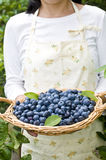 Blueberry, Royalty Free Stock Images