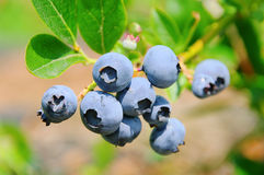 Blueberry on shrub stock photos