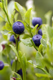 Blueberry shrubs. Close-up of the blueberry shrubs - forest product royalty free stock photography