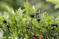 Blueberry shrubs. Close-up of the blueberry shrubs - forest product stock photos