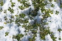 Blueberry shrubs Stock Images