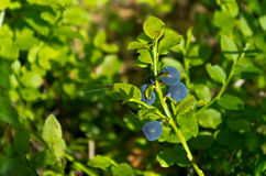 Blueberry sprig royalty free stock image
