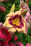 Blueberry Sundae daylily opens in a summer garden. Blueberry Sundae daylily buds and flowers peak out of a summer garden of phlox and Asiatic lilies. The soft Stock Photo