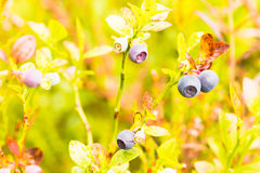 Blueberry three. The photo shows a forest blueberry Royalty Free Stock Photo