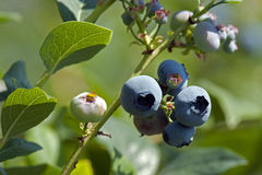 Blueberry on the tree Stock Images