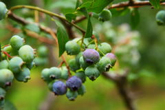 Blueberry Tree Royalty Free Stock Photography
