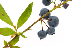 Blueberry tree Royalty Free Stock Images