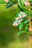 Blueberry twig, blueberry bush in a garden. Stock Images