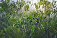 Fresh organic blueberries on the bush stock photography