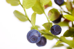 Blueberry twigs Royalty Free Stock Images