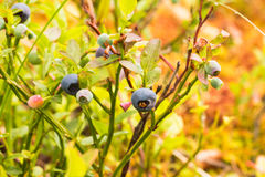 Blueberry two. The photo shows a forest blueberry Royalty Free Stock Image