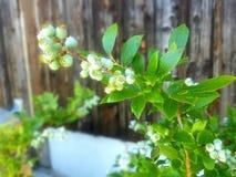 Blueberry unripened Royalty Free Stock Photo