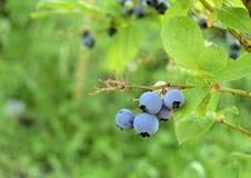 Blueberry, Vaccínium. Berries of blueberry ripen on a branch. Blueberry grows in a garden Stock Photos