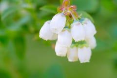 Blueberry vaccinium blooms macro Stock Image