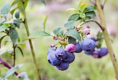 Blueberry Vaccinium corymbosum Bluecrop. stock images