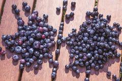 Blueberry Vaccinium corymbosum and Vaccinium myrtillus Stock Photos