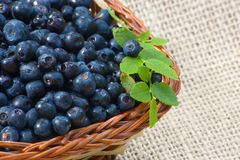Blueberry vaccinium myrtillus in basket. Blueberries with green leaves and basket Royalty Free Stock Photography