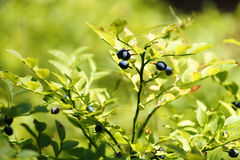 Blueberry (vaccinium myrtillus). Shrub with the ripe fruits. Stock Photo